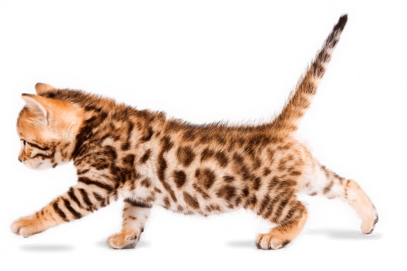 Buy bengal kitten